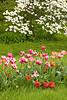 Tulips and Dogwood, Clark County, Illinois