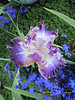 Jean Purple Iris