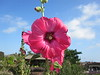Cherry Rose Colored Hollyhock Flower with Starburst Center
