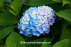 Blue Hydrangea, Dane County, Wisconsin