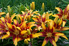Asiatic Lilies, West Bend, Wisconsin