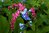 Bleeding Hearts and Virginia Bluebells, Dane County, Wisconsin