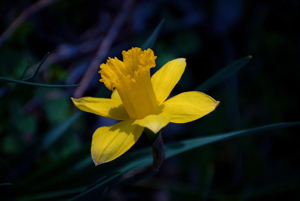 Daffodil: Harbinger of Spring