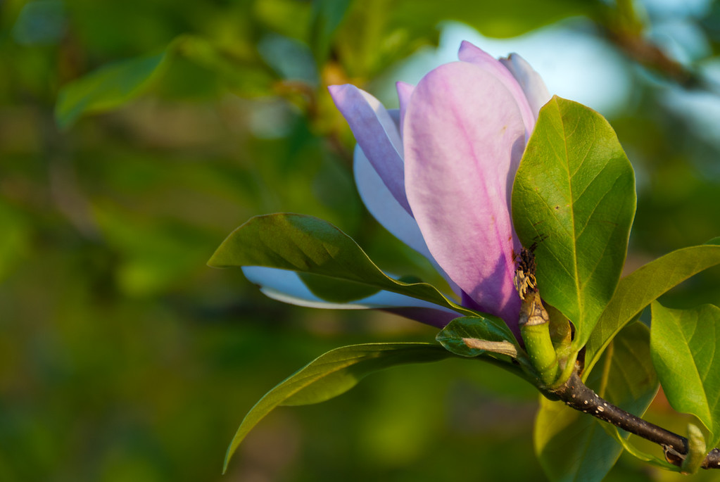 Magnolia Blooms at Boone County Arboretum in Northern Kentucky