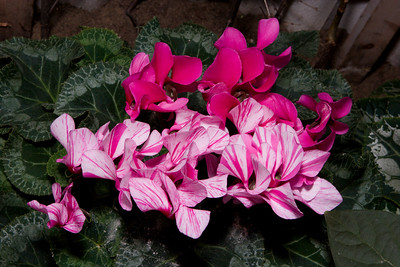Pink Striped Cyclamen