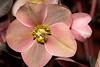 Helleborus (Lenten Rose) 'Pink Ice'