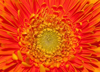 Orange Strawflower