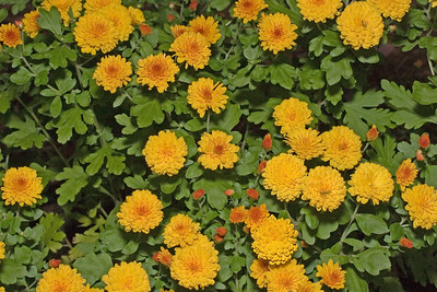 Ginger Garden Chrysanthemum