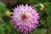 """Dahlia, 'April Dawn', <a href=""""http://www.longwoodgardens.org/"""">Longwood Gardens</a> , Kennett Square, PA"""