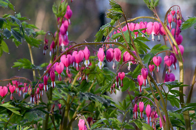 Bleeding Hearts, Dicentra spectabilis - Misty Morning