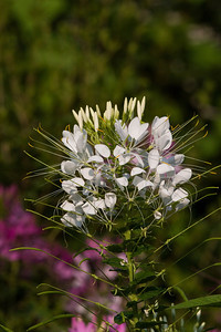 White Spider Flower, Cleome spinosa