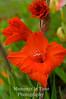 Red gladiola standout v