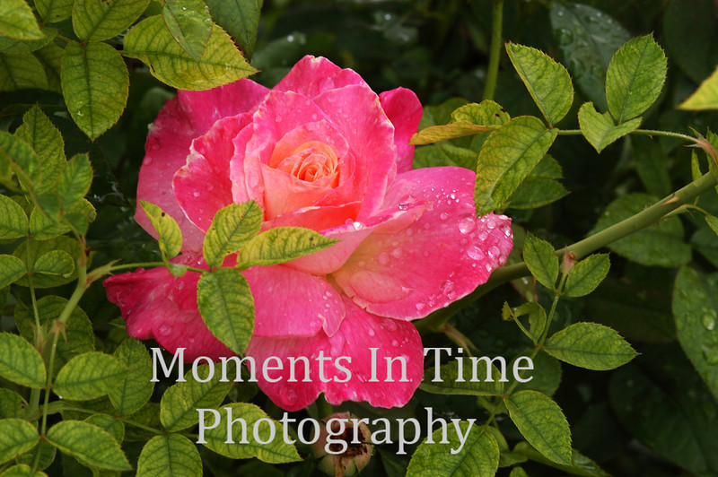 Pink rose beauty