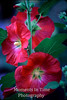 Dark pink hollyhock v