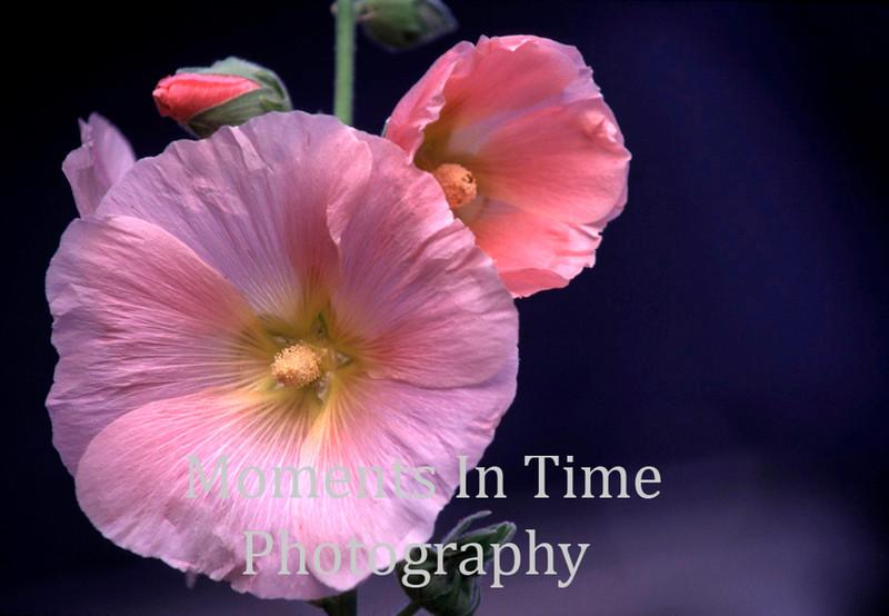 Brilliant pink hollyhock