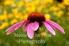 Echinacea in field