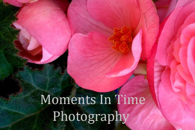 Pink begonia row