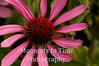 Echinacea with character