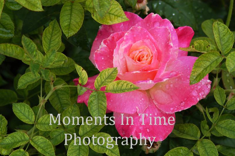 Brilliant pink rosea