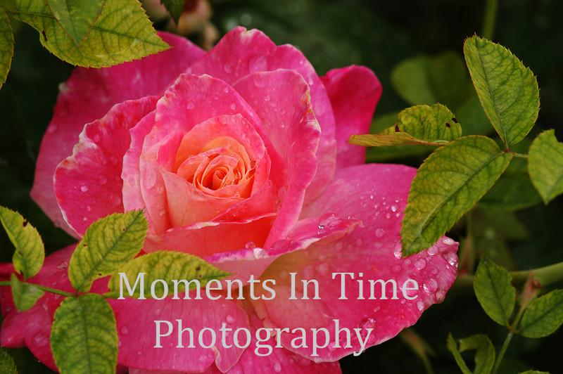Brilliant pink rose