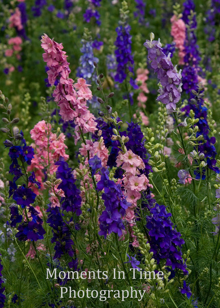 Blue larkspur with pink