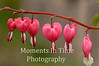 Bleeding hearts in a row