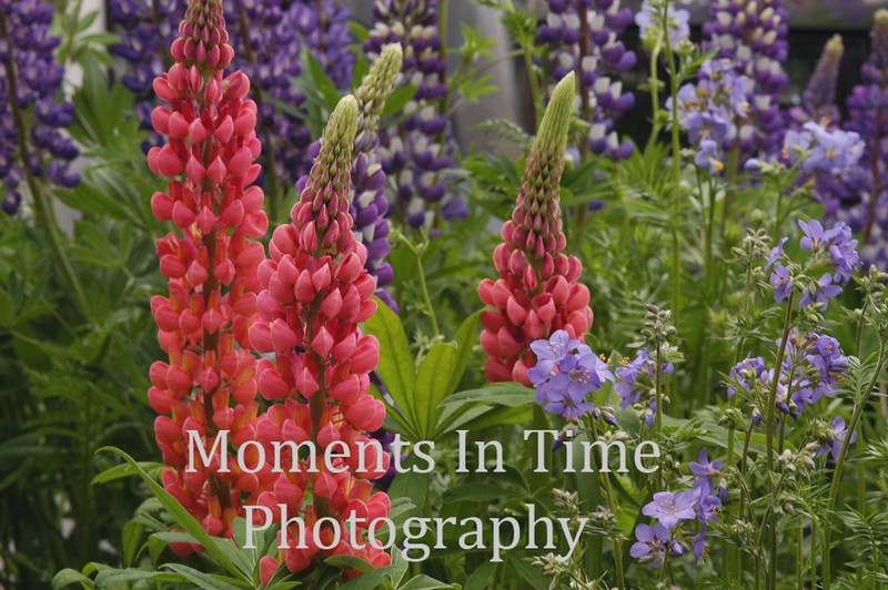 Pink lupine cluster