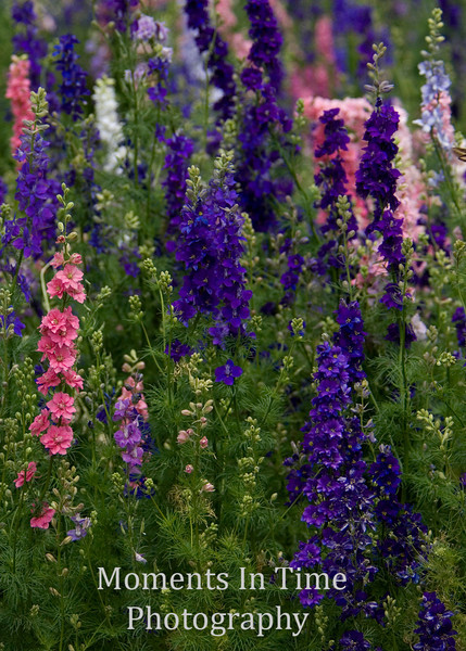 Colorful larkspur in field