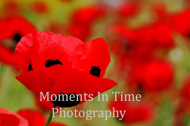 Ladybug poppy in field