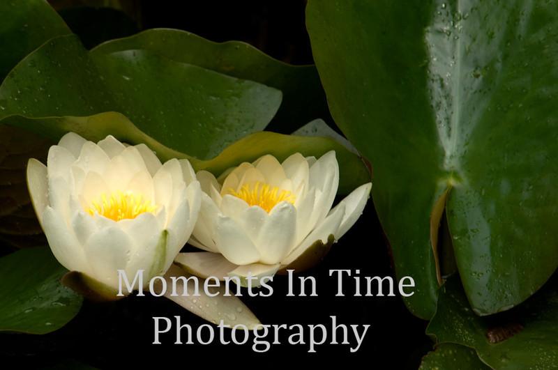 White water lillies