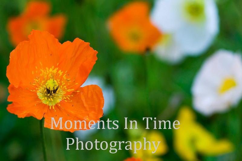 Orange poppy standout