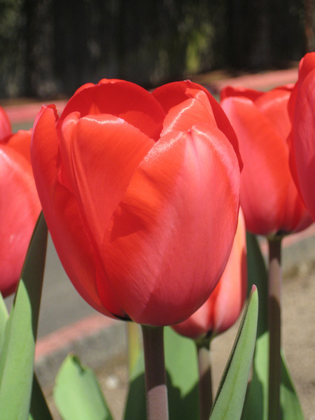 Tulips Spring 2009
