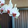 Orchid - Original