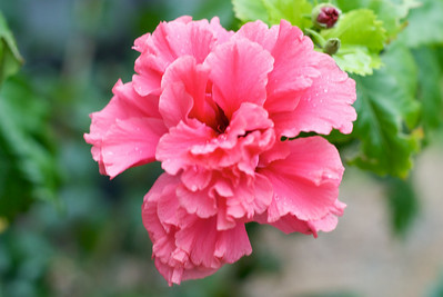 Frilly Hibiscus