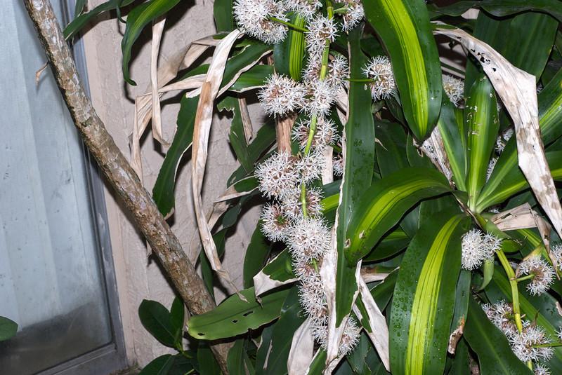 Flowering corn plant