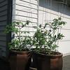 Tomatoes June 8, 2009