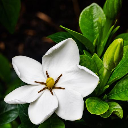 200528 Gardenia 1