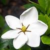200528 Gardenia 1 - center v1