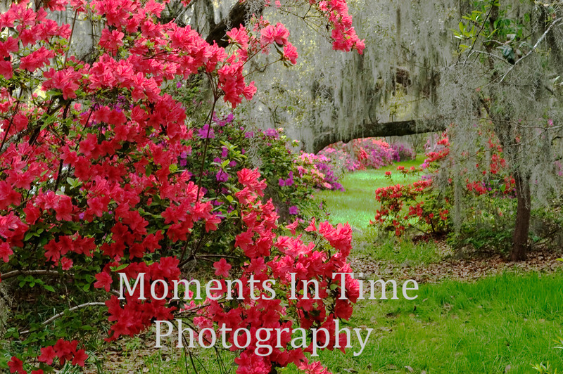Pink azaleas at Magnolia