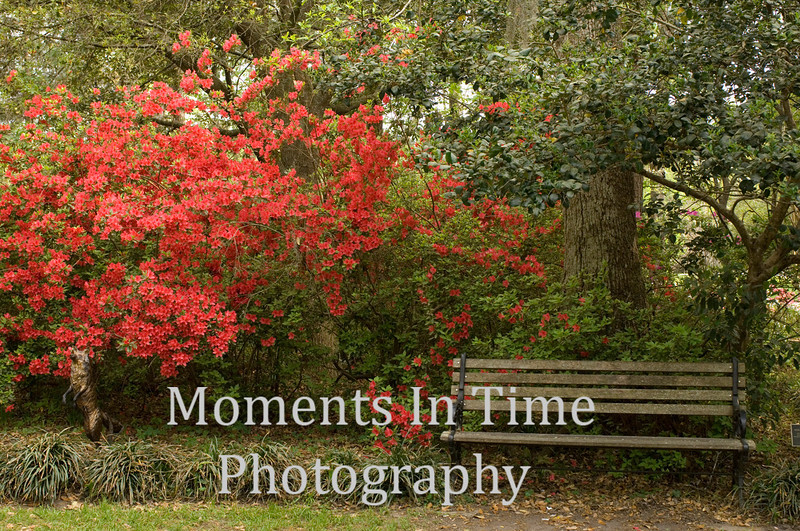 Azaleas with park bench