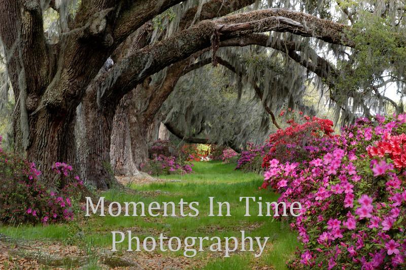 Azaleas and tunnel of trees