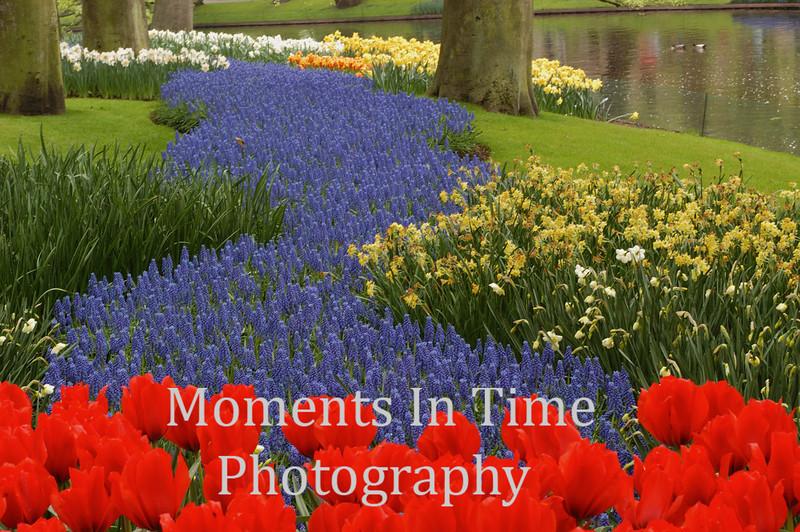 Red tulip hyacinth river