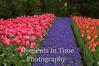 Hyacinths between tullip rows