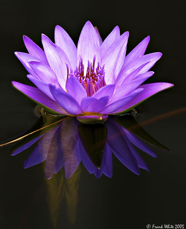 Purple water lily, Longwood Gardens, PA