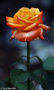Dusky rose, Biltmore House Gardens, Asheville, NC