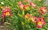 06162002 Pink-purple yellow lillies