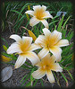 06292003 'Frances Fay' Daylily [borderfade4]
