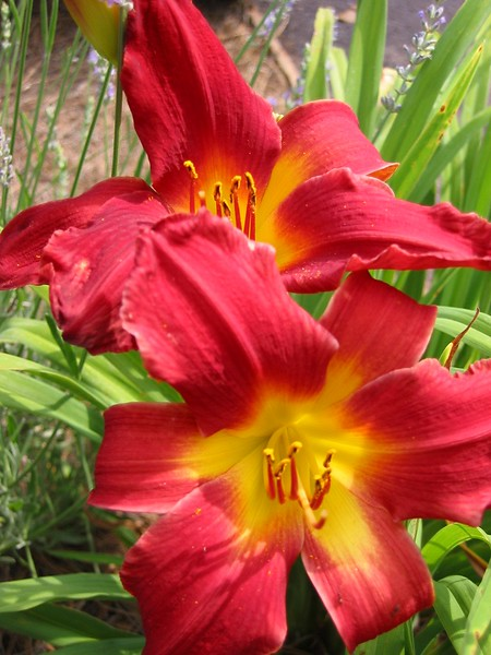06162002 Red yellow lillies cl