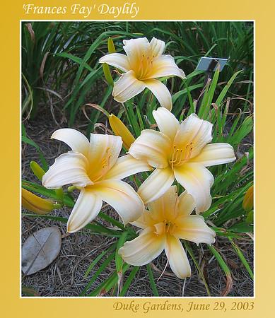 Duke Gardens - Daylilies