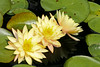 08152008 Yellow Hardy Water Lilies (Nymphaeaceae)